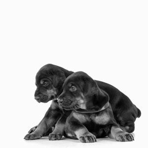 http://northstardobermans.com/nsd/wp-content/uploads/2019/05/footer-puppies.jpg